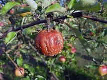 Przegniły jabłko Zdjęcia Royalty Free