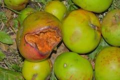Przegniły jabłko na stosie jabłka Fotografia Stock