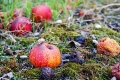 Przegniły jabłko w zielonym mech Zdjęcia Royalty Free