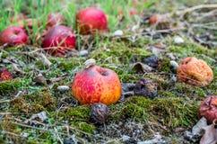 Przegniły jabłko w zielonym mech, jedzącym ślimaczkiem Fotografia Stock