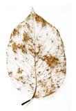 Przegniły liścia kościec zdjęcia royalty free