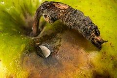 Przegniły zielony jabłko jest makro- Zdjęcia Royalty Free