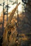 Przegniły korzeniowy Lyme park Disley, Stockport, Szczytowy Gromadzki park narodowy CheshireEngland Obraz Stock