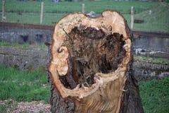 Przegniły wierzbowego drzewa trunck przy riverbank Gouwe w Gouda holandie Zdjęcie Royalty Free