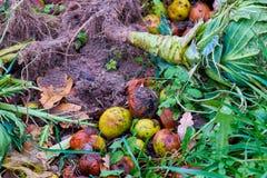 Przegnili jabłka i resztki kapuściany lying on the beach na trawie Fotografia Stock
