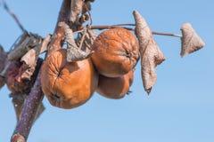 Przegnili jabłka wiesza od gałąź drzewo obraz royalty free
