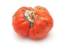Przegniły pomidor Fotografia Royalty Free