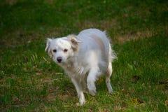 Przegrany przelękły bielu pies w parku fotografia royalty free