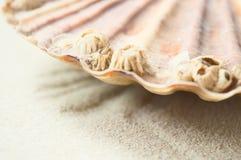 Przegrzebków oceaniczni szczegóły Obraz Royalty Free