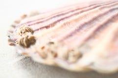 Przegrzebków oceaniczni szczegóły Zdjęcie Stock