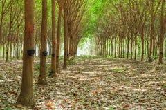 Przejścia i Gumowego drzewa lateksowy rolnictwo w tropikalnym lasowym dowcipie Zdjęcie Royalty Free