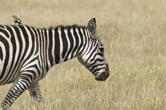 przejażdżki ptasia daje zebra Zdjęcie Royalty Free