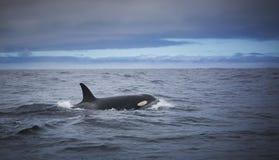 Przejezdny zabójcy wieloryb Obraz Stock