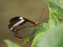 Przejrzysty brown motyl Zdjęcie Royalty Free