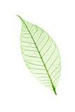 Przejrzysty liść odizolowywający na bielu Zdjęcie Royalty Free