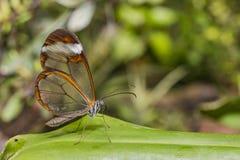 Przejrzysty skrzydłowy motyl - Greta oto Obrazy Royalty Free