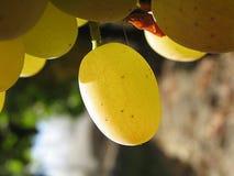 przejrzysty winogron zdjęcie stock