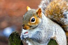 przekąski wiewiórka Obrazy Royalty Free