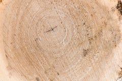 Przekrój poprzeczny drzewny bagażnik fiszorek i Struktura drewno Roun Fotografia Stock