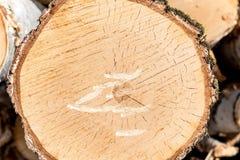 Przekrój poprzeczny drzewny bagażnik fiszorek i Struktura drewno Roun Obraz Royalty Free