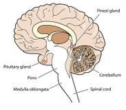 Przekrój poprzeczny mózg ilustracja wektor