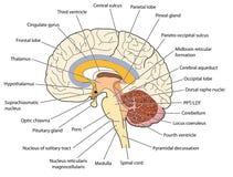 Przekrój poprzeczny przez mózg royalty ilustracja