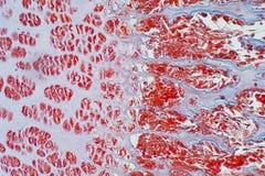 Przekroju poprzecznego cartilage ludzka kość pod mikroskopu widokiem dla edu Obrazy Royalty Free