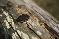 Przelękły żółw jeziorem fotografia royalty free