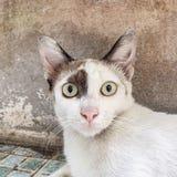 Przelękły zdziwiony kot Obraz Royalty Free