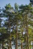 Przemaczający wierzchołki sosny przeciw niebieskiemu niebu obraz stock
