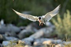 Przemykający Pospolity Tern (mostku hirundo) Obraz Royalty Free