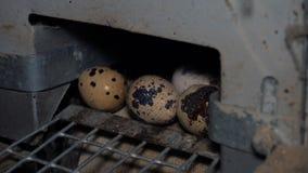 Przepiórek jajka na farma drobiu zbiory