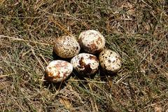 Przepiórek jajka na trawie Obrazy Royalty Free