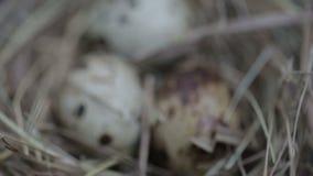 Przepiórek jajka w gniazdeczku zbiory