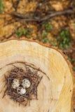 Przepiórek jajka w gniazdeczku Obraz Stock