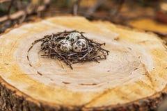 Przepiórek jajka w gniazdeczku Obrazy Royalty Free