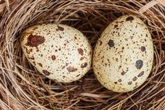 Przepiórek jajka w gniazdeczku odizolowywającym na bielu Zdjęcia Stock