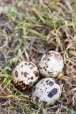 Przepiórek jajka w pustkowiu w trawie Zdjęcia Royalty Free