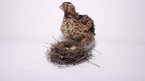 Przepiórka blisko gniazdeczka z jajkami zbiory