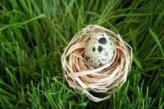 przepiórka jajeczna Fotografia Royalty Free