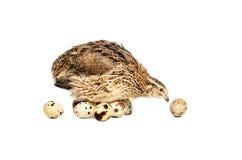 Przepiórka kluje się jajka Zdjęcia Stock