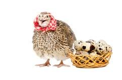 Przepiórka obok kosza przepiórek jajka Zdjęcia Royalty Free