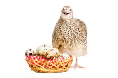 Przepiórka obok kosza przepiórek jajka Zdjęcia Stock