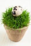 Przepiórki jajko na trawie Obrazy Royalty Free