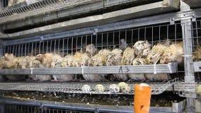 Przepiórki w klatkach przy farmą drobiu zbiory