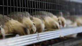 Przepiórki w klatkach przy farmą drobiu zdjęcie wideo