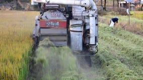 Przeprowadza żniwa ryż zdjęcie wideo