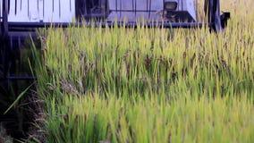 Przeprowadza żniwa ryż zbiory wideo