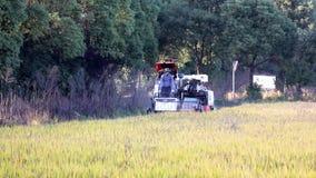 Przeprowadza żniwa ryż zbiory
