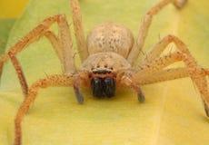 przerażający gigantyczny pająk Obrazy Stock